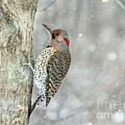 Northern Flicker Woodpecker Poster
