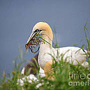 Northern Gannet Gathering Nesting Material Poster