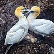 Northern Gannets And Chick 2 Poster