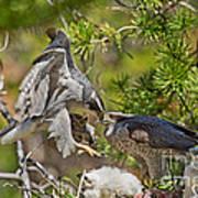 Northern Goshawk Brings Prey To Nest Poster