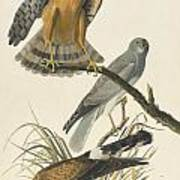 Northern Harrier Poster