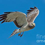 Northern Harrier Male In Flight Poster