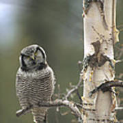 Northern Hawk Owl In The Spring Alaska Poster