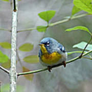 Northern Parula On Branch Poster
