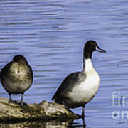 Northern Pintail Poster