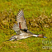 Northern Pintail In Flight Poster