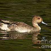 Northern Pintail Molting Poster