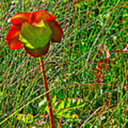 Northern Pitcher Plant In French Mountain Bog In Cape Breton Highlands-nova Scotia  Poster