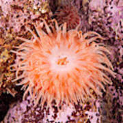 Northern Red Anemone Poster