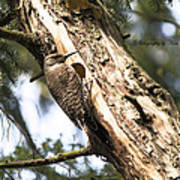 Northern Red Shafted Flicker Poster