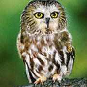 Northern Saw-whet Owl Aegolius Acadicus Wildlife Rescue Poster