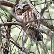 Northern Saw-whet Owl  Poster