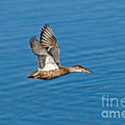 Northern Shoveler In Flight Poster