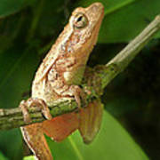 Northern Spring Peeper Poster