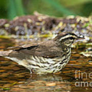Northern Waterthrush Poster