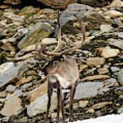 Norway, Troms Male Reindeer (rangifer Poster