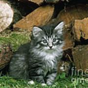 Norwegian Forest Kitten Poster