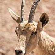 Nubian Ibex Capra Ibex Nubiana 1 Poster