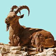 Nubian Ibex Poster