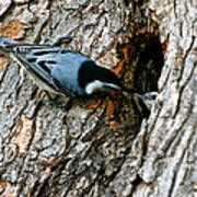 Nuthatch Love Poster
