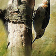 Nuthatch Poster