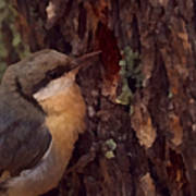 Nuthatch Up Close Poster