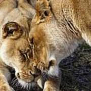 Nuzzling Lions Poster