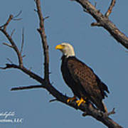Nw Florida Bald Eagle Iv Poster