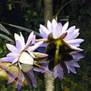 Nymphaea Colorata. Water Lilies Poster