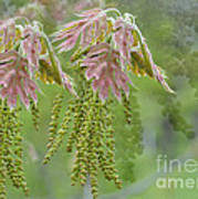 Oak Blossoms Poster