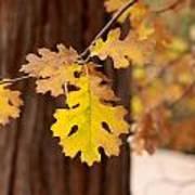 Oak Leaf Poster by Denice Breaux