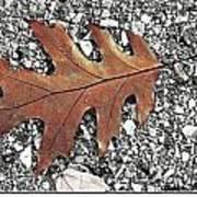 Oak Leaf On Asphalt  Poster
