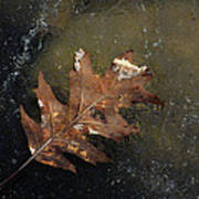 Oak Leaf On Ice Poster
