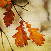 Oak Leaves At Autumn Poster
