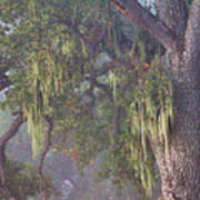Oak Tree And Spanish Moss In The Mist Poster