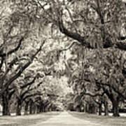 Oak Trees Of Charleston South Carolina In Sepia Poster