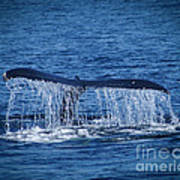 Ocean Dive Of The Humpback Whale Poster