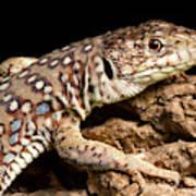 Ocellated Lizard Timon Lepidus Poster