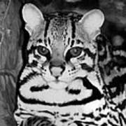 Ocelot In Repose Poster