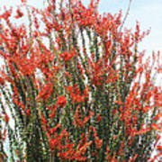 Ocotillo After A Heavy Rain Poster