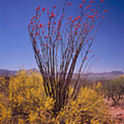 Ocotillo And Palo Verde Poster