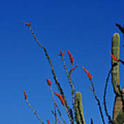 Ocotillo And Saguaro Poster