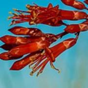 Ocotillo Flowers Poster