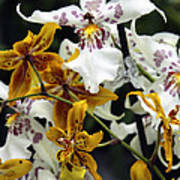Gold And White Orchids Poster