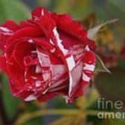 October Rose Poster