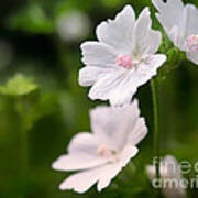 Oh So Pretty Musk Mallow Poster