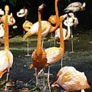 Oil Painting - A Number Of Flamingos With Their Heads Held High Inside The Jurong Bird Park Poster