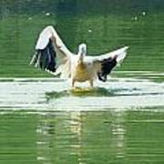 Oil Painting - Pelican Flapping Its Wings Poster