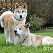 Old And Young Akita Inu Poster