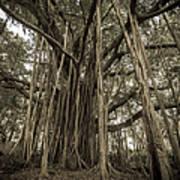 Old Banyan Tree Poster by Adam Romanowicz